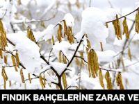Kar Fındık Bahçelerine Zarar Verdi