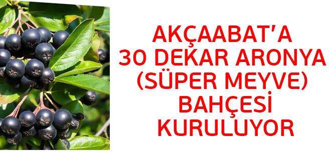Akçaabat'a 30 Dekar Aronya (Süper Meyve) Bahçesi Kuruluyor.