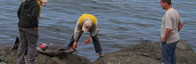 Akçaabatta Yunus Balığı