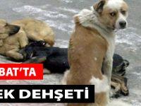 Akçaabat'ta Köpek Dehşeti
