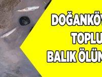 Doğanköy'de Toplu Balık Ölümleri